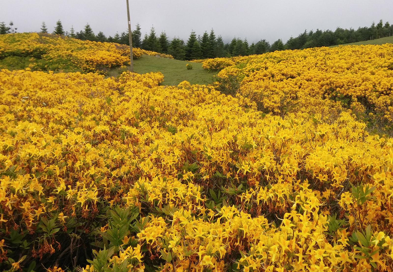 Sarı Orman Gülü